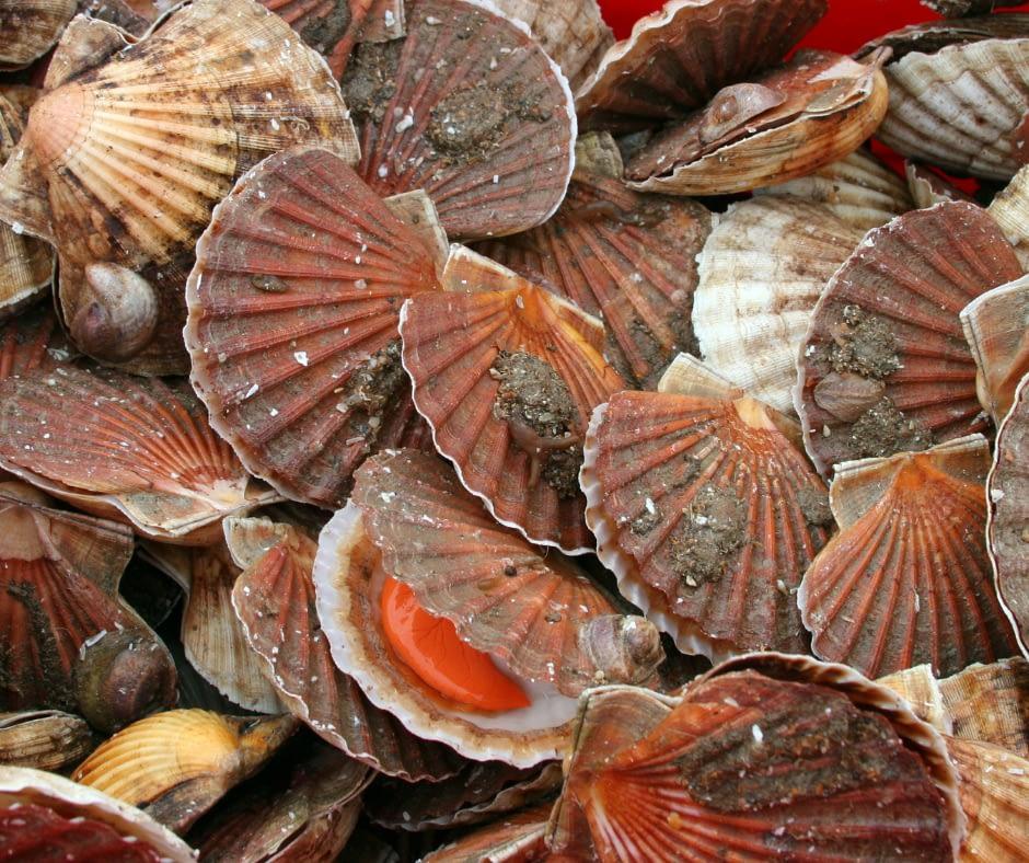 Fresh-Rottnest-Island-Scallops